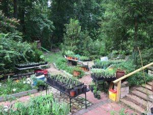Master gardener - asclepias
